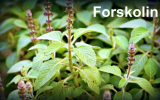 The Beginner's Guide to Forskolin Supplementation